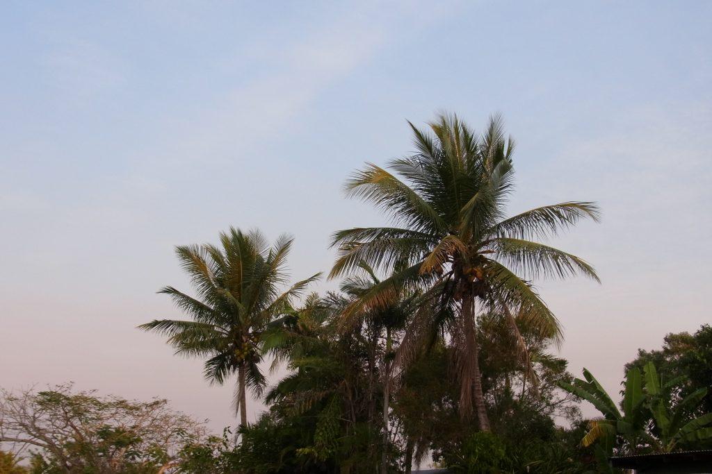 オーストラリアケアンズの椰子の木